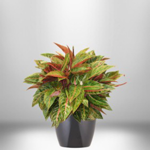 Aglaonema (Golden Passion)